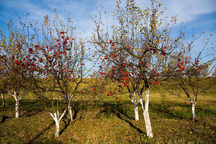 Чем удобрять яблони осенью для лучшего урожая