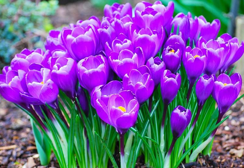 Многолетние луковичные цветы для дачи: фото и названия – уют и тепло моего дома