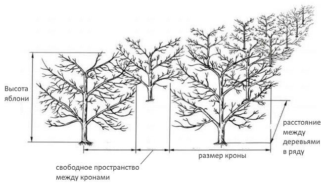 расстояние между деревьями при посадке плодовых деревьев