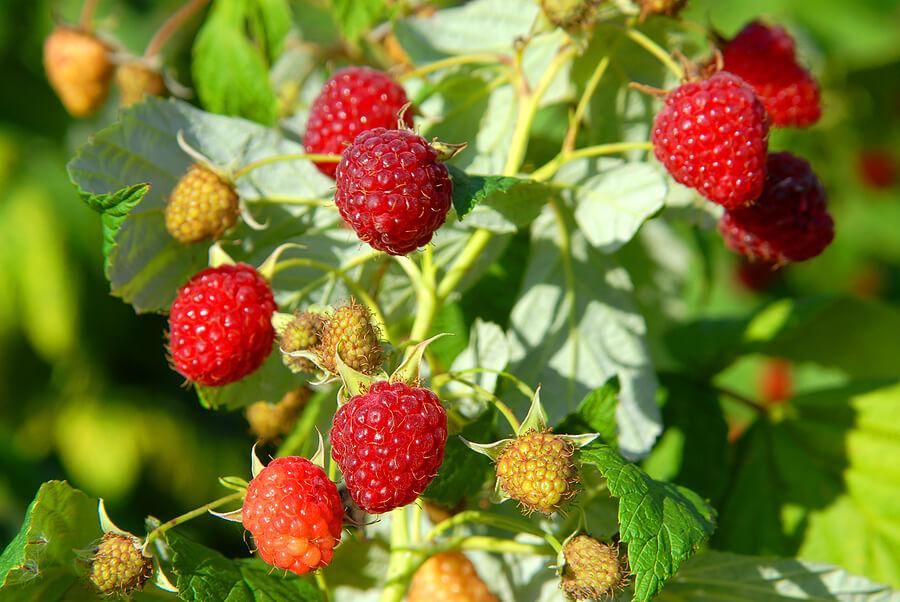 Чем подкормить малину осенью для богатого урожая к следующему сезону