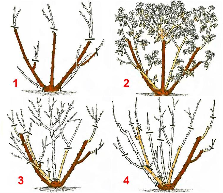 Розы: укрытие роз (плетенистых)на зиму, обрезка осенью и подготовка к зиме