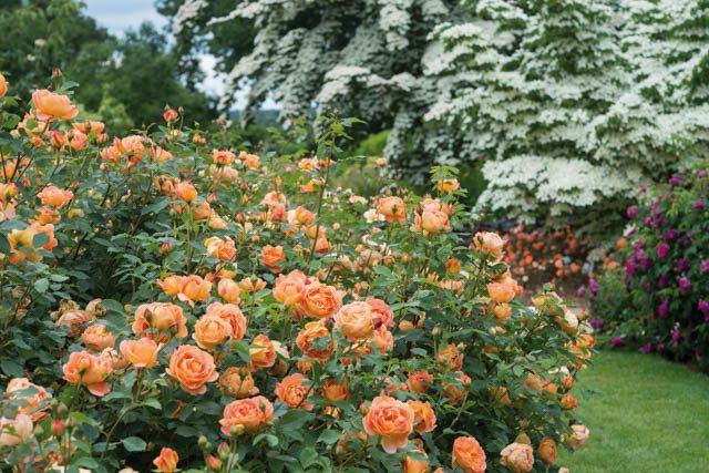 Роза поэзия