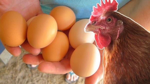 Чем кормить куриц несушек в домашних условиях, чтобы неслись?