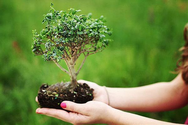 Бонсай: выращивание из семян, основы техники и ухода с фото