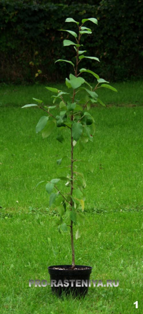 Посадка яблонь саженцами осенью и весной: пошаговая инструкция