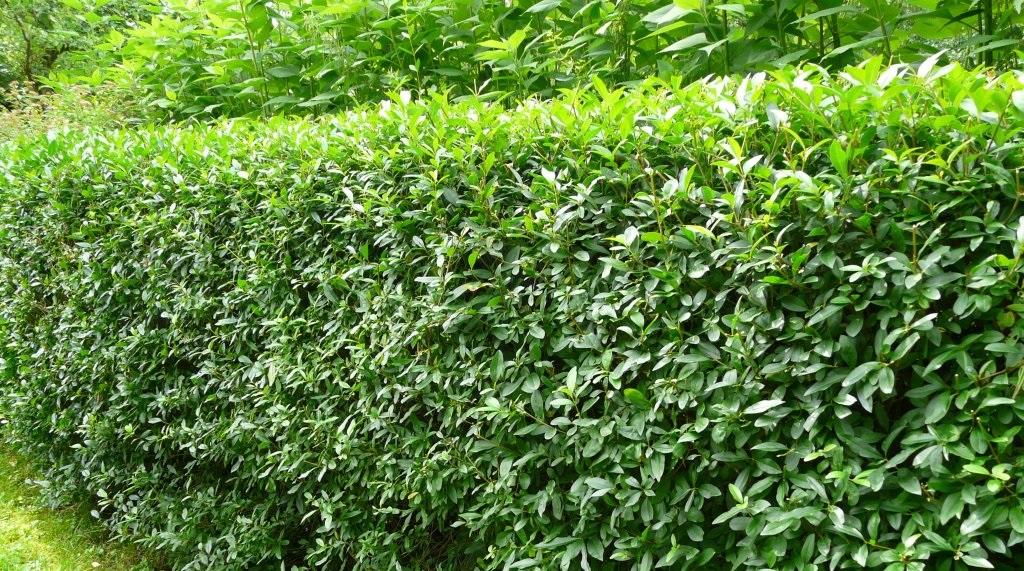 Лигуструм или бирючина - описание растения, его виды, уход и фото