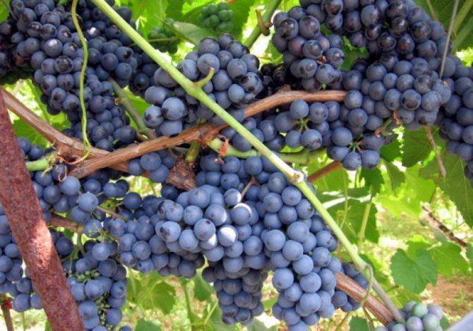 Саженцы винограда красохиной на осень 2020 года - дневник садовода semena-zdes.ru