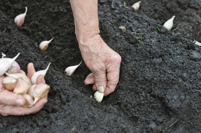 глубина посадки чеснока осенью в средней полосе