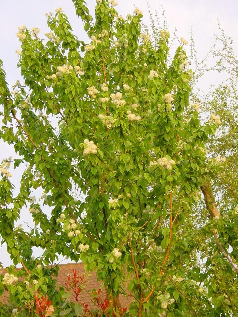 листья черемухи осенью
