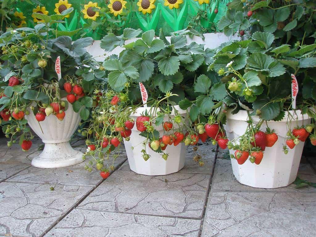 Бизнес идея выращивание клубники в открытом грунте дома и другие способы
