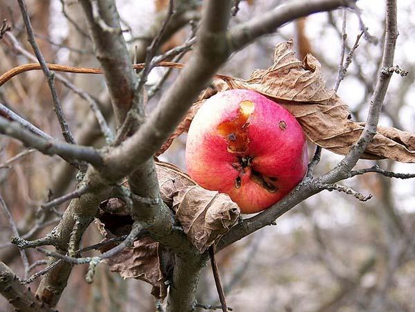 Чем и когда опрыскивать плодовые деревья