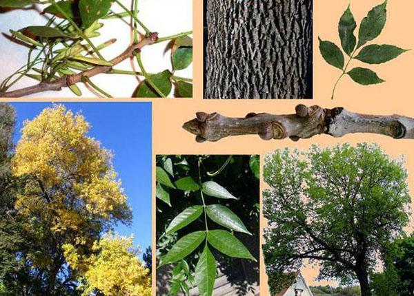 Дерево ясень. fraxinus — описание таксона | вода - источник красоты и молодости
