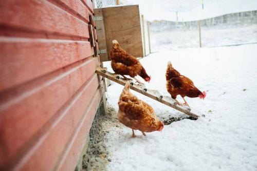 Какую температуру выдерживают куры зимой : породы, содержание