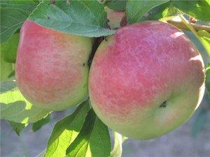 Яблоня супер чиф: описание, фото, отзывы и характеристики американского сорта