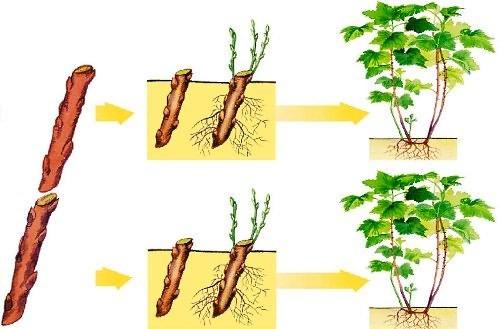 как размножить черную смородину