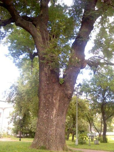 Ясень: описание дерева, свойства, применение и его виды