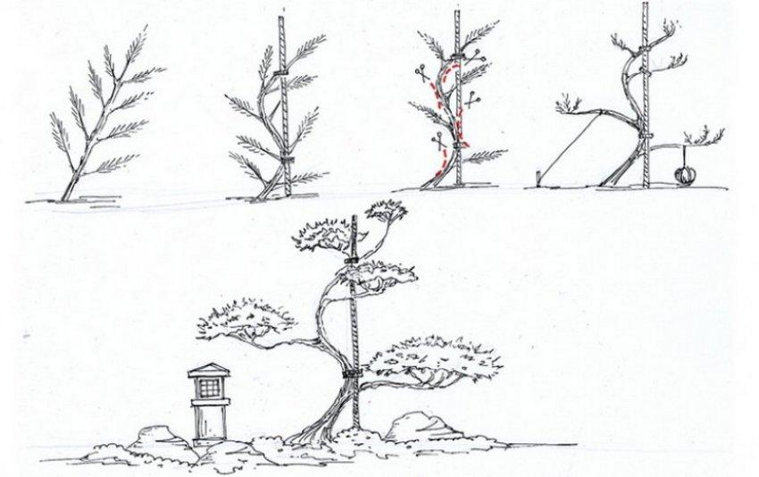 Бонсай сосна своими руками (ниваки): выращивание, формирование, уход
