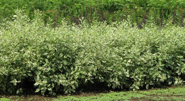 Дерен пестролистный: посадка и уход, размножение, обрезка и выращивание в ландшафтном дизайне