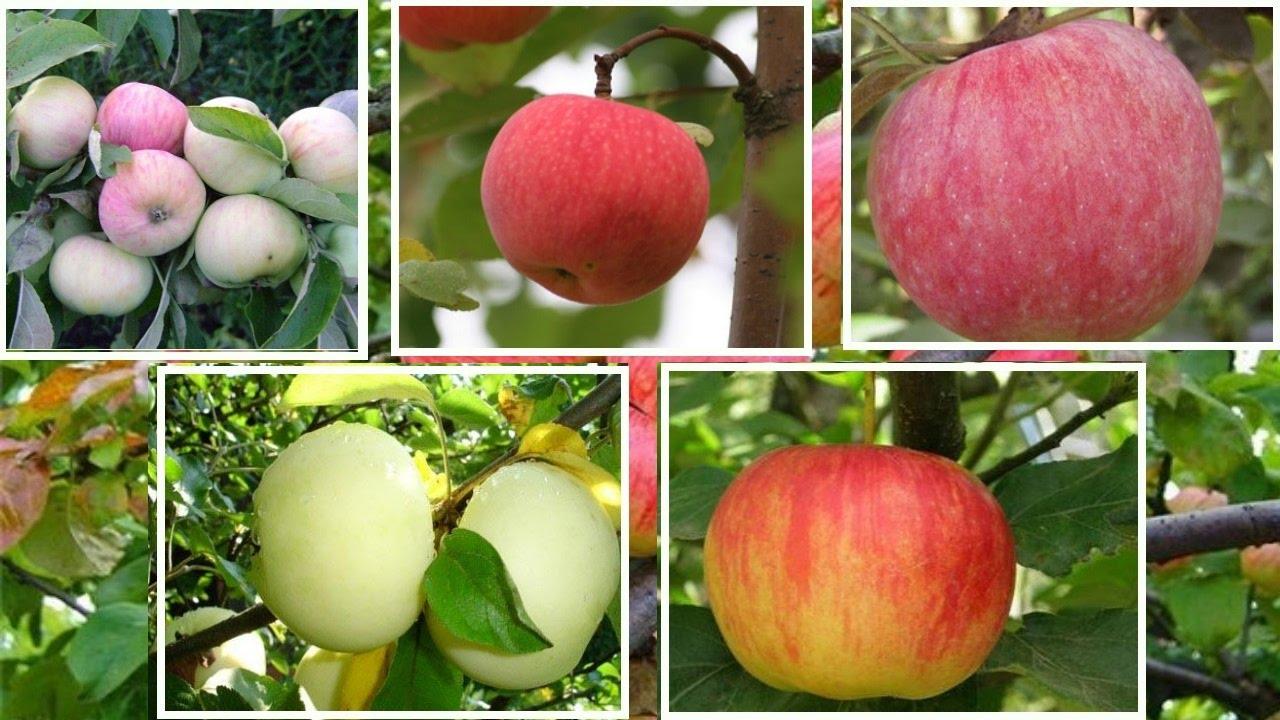 какие сорта яблок бывают