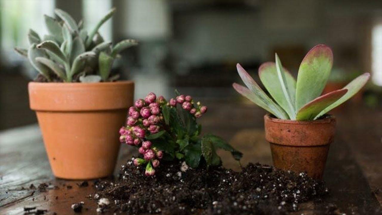 Как вырастить суккулент в домашних условиях из семян, листом