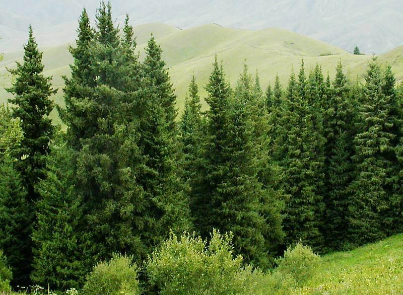 Ель обыкновенная: 105 фото и видео как посадить и ухаживать за елкой