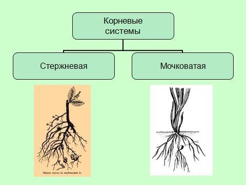 типы корней у растений