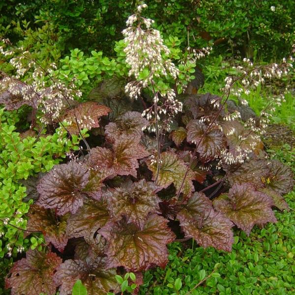 цветок гейхера фото