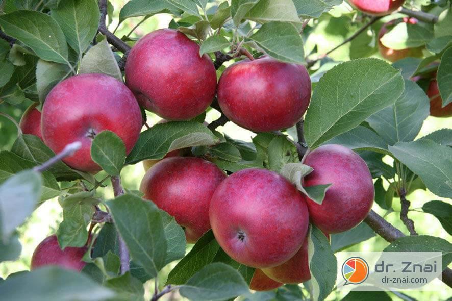 старые сорта яблонь с фото и описанием