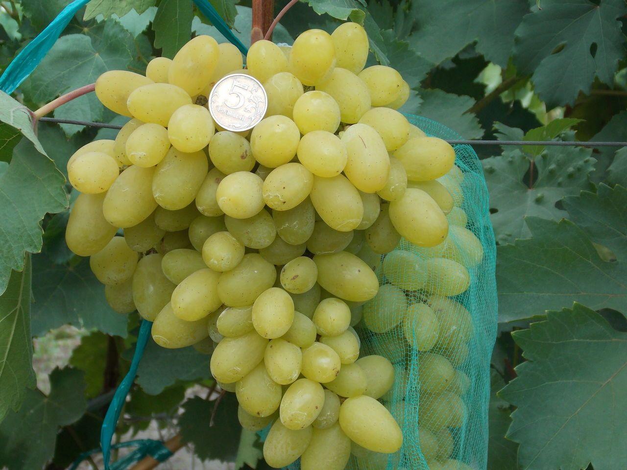Каталог саженцев винограда красохиной с и - дневник садовода semena-zdes.ru