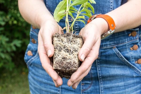 Флоксы - 106 фото роскошного кустарника и его использования в саду