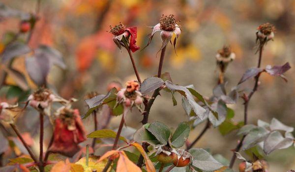 подготовка кустов роз к зиме