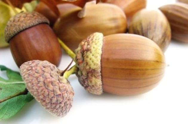 Как вырастить дуб из желудя. | здоровое питание