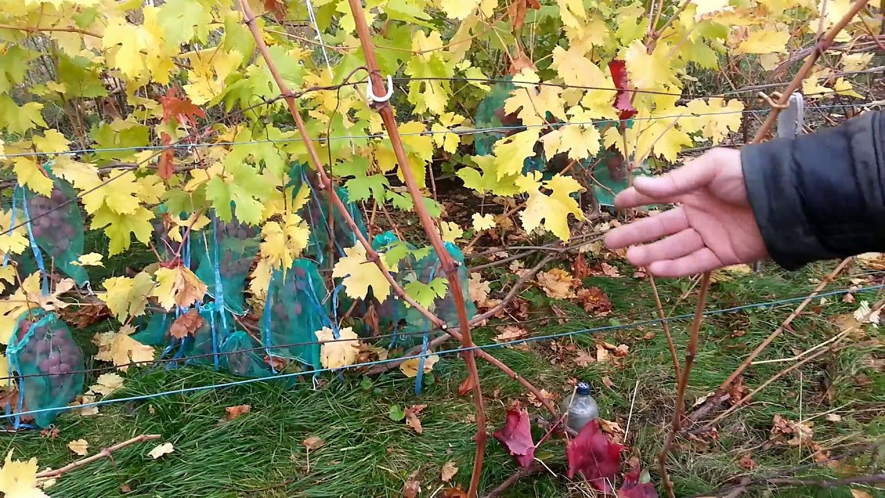Как ухаживать за виноградом осенью: правильная подготовка лозы к зиме