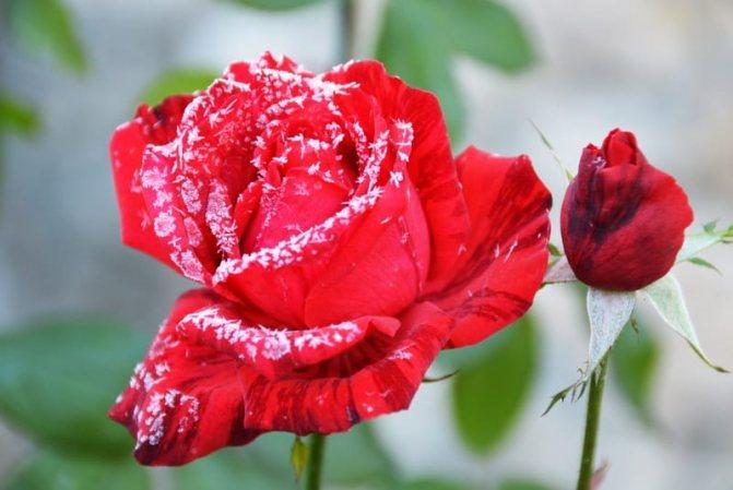 когда убирать розы на зиму