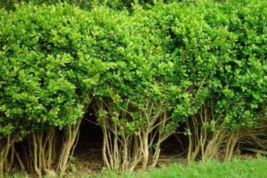Самшит: выращивание, размножение, виды и сорта