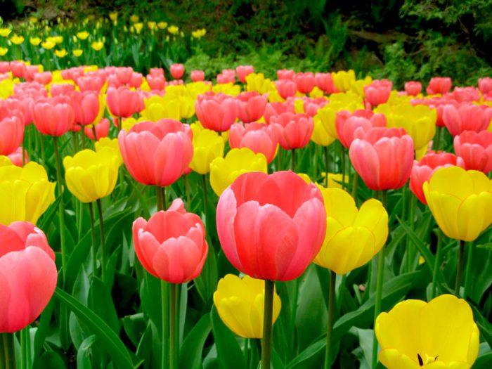 Тюльпаны. выращивание от а до я