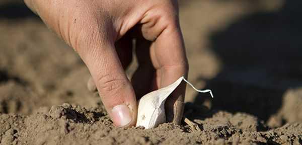 можно ли сажать очищенный чеснок под зиму