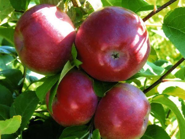 Яблоня «лобо»: описание сорта, фото, отзывы, посадка и уход