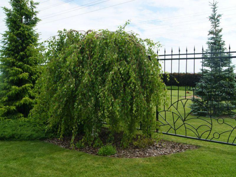 невысокое дерево