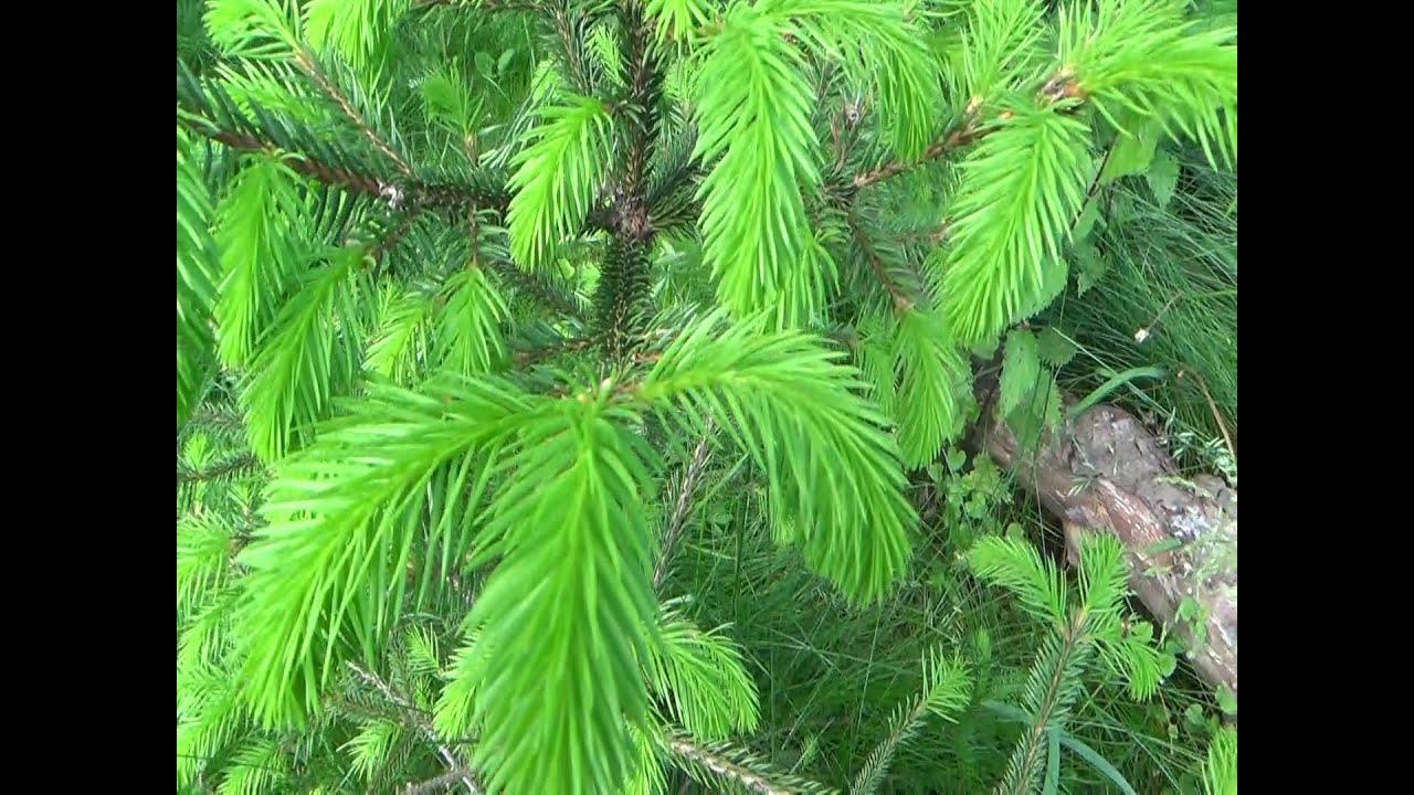 Как правильно посадить сосну из леса осенью. подходящее время | дачная жизнь