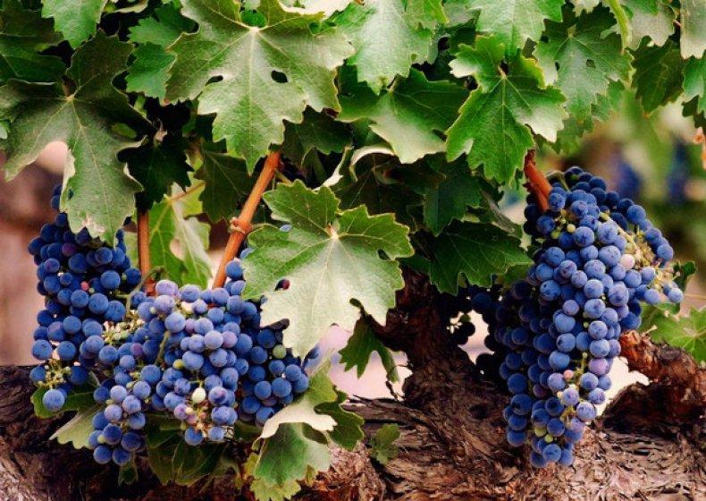Красохина виноград каталог саженцев 2020г - дневник садовода semena-zdes.ru