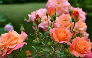 как обрезать парковые розы осенью