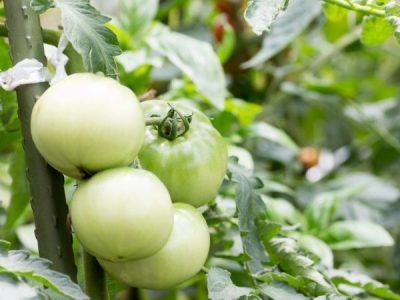 Всё о том, что такое фитофтора на помидорах и как с ней бороться