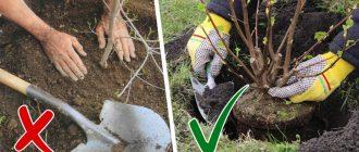 Пересадки деревьев осенью: пошаговая инструкция. когда пересаживают деревья осенью или весной как пересадить деревья весной