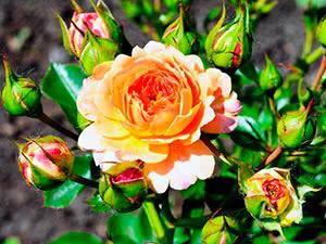 Стихи роза мира - сборник красивых стихов в доме солнца