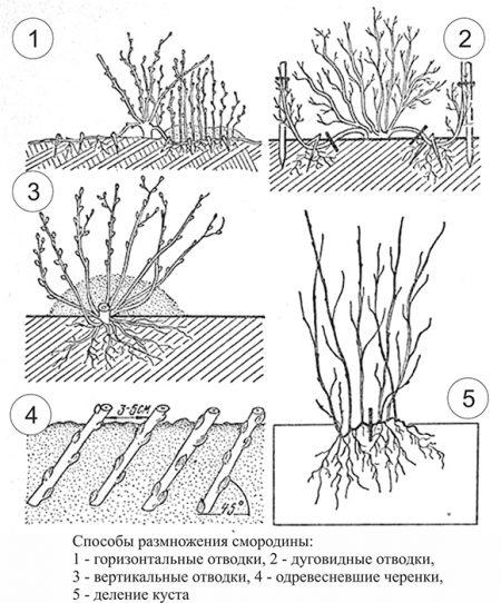 Как размножать смородину зелеными черенками
