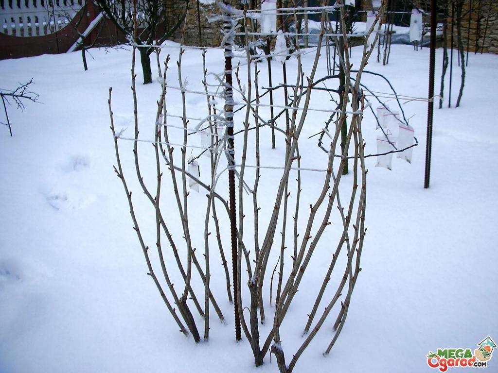 Как кусты малины подготовить к зиме в сибири, на урале, в подмосковье: обрезка осенью, укрытие