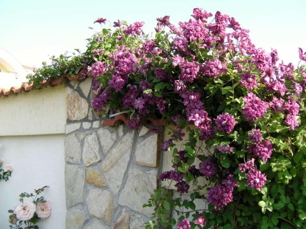 Клематисы «пурпуреа плена элеганс» (35 фото): ботаническое описание сорта. к какой группе обрезки относится?