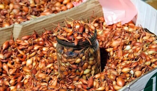Чем лучше всего обработать лук севок перед посадкой от болезней и вредителей?