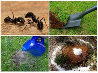 Самые эффективные методы борьбы с садовыми муравьями